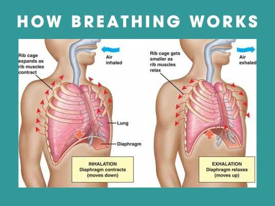 Diaphragm, Pelvic Floor, Posture, and Breathing - AE Wellness