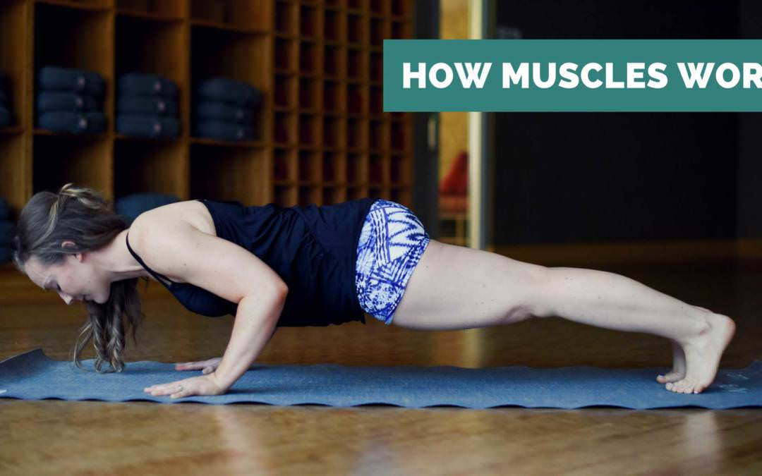How Muscle Contraction Works